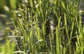 Welke aanpassingen heeft gras nodig om te overleven?