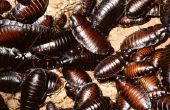 How to Get Rid van kakkerlakken zonder pijn mijn katten