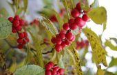 Welke mannelijke Holly moet ik Plant met Ilex Winterberry?