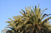Robellini Palm ziekten