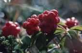 Wat bomen hebben rode bessen in de zomer?