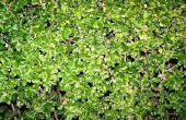 De beste Hedge planten in Georgië