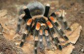 Hoe af te weren, zwarte weduwe spinnen