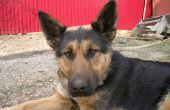 Fenobarbital voor Canine oorinfecties