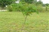 Hoe te snoeien van een boom Mimosa