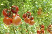 How to Grow Tomaten in emmers van 5-Gallon