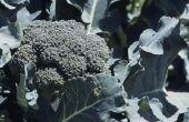 How to Save langbenige Broccoli zaailingen