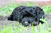Hoe de zorg voor een Puppy Maltipoo