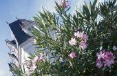 Hoe Plant een Oleander Hedge