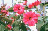 Insecticiden goedgekeurd voor Hibiscus