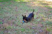 Hoe te verwijderen een doorn uit een Dog's Paw