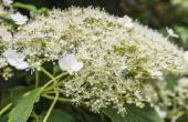Tips bij het kweken van Hortensia klimmen