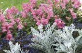 Welke bloem kan ik Plant met leeuwebekjes?