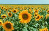 Tuin plannen voor mammoet zonnebloemen
