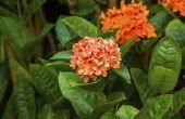 Hoe de zorg voor een Ixora Plant