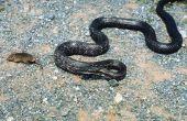 Hoe te identificeren van een grote zwarte slang in Zuid-Carolina
