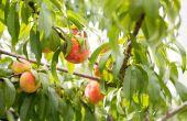 Hoe te snoeien een perzikboom