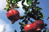 Leiboom granaatappel bomen
