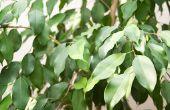 Hoe de zorg voor een gevlochten Ficus boom