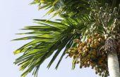 Hoe de zorg voor een Areca Palm Tree