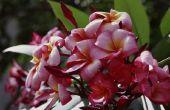 Insecten op planten van de Plumeria