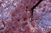 Insecten eten kleine gaatjes in alle bladeren op mijn huilende kersenboom