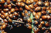 Zelfgemaakte vallen voor vliegen & lieveheersbeestjes