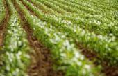 Wanneer te planten suikermaïs in Pennsylvania