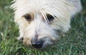 Hoe Heal droge & geïrriteerde huid op Cairn Terriers