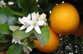 How to Cure oranje boom ziekten