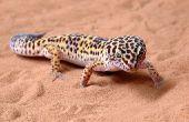 Soorten gekko's in Arizona