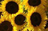 Hoe de zorg voor een zonnebloem