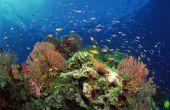 Hoe te vangen Mu vis in Hawaï