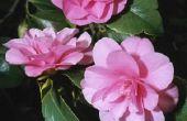 Is een Camellia Plant giftig voor katten?