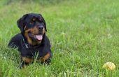 Haaruitval op de snuit van een hond