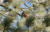 Soorten Long-naald groenblijvende bomen