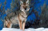 Hoe maak je een deken van Coyote verbergen