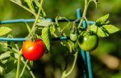 Welke oorzaken witte golvende lijnen op mijn tomatenplant verlaat?