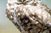 Waarom zijn gravende uilen op de lijst van bedreigde diersoorten?