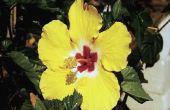 Kunt u een Plant buiten Hibiscus in de hoofdmap splitsen?
