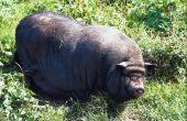Hoe maak je een huisdier Hangbuikzwijn stoppen bijten