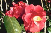 Zijn Camellia toppen giftig?
