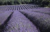 Lavendel 'Lady' zal overleven de luchtvochtigheid in Florida?