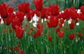 How to Grow tulpen