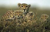 Biotische factoren voor een Cheetah