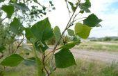 How to Grow trillen Aspen bomen van wortelstekken