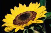 Hoe te behandelen zonnebloem plagen