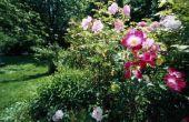 De beste tijd van jaar knippen terug Rose struiken en Knock out rozen