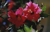 Wat zijn de oorzaken van Hibiscus ophoudt draaien geel & vallen?