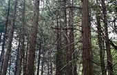 Mijn grote pijnbomen zijn geld waard?